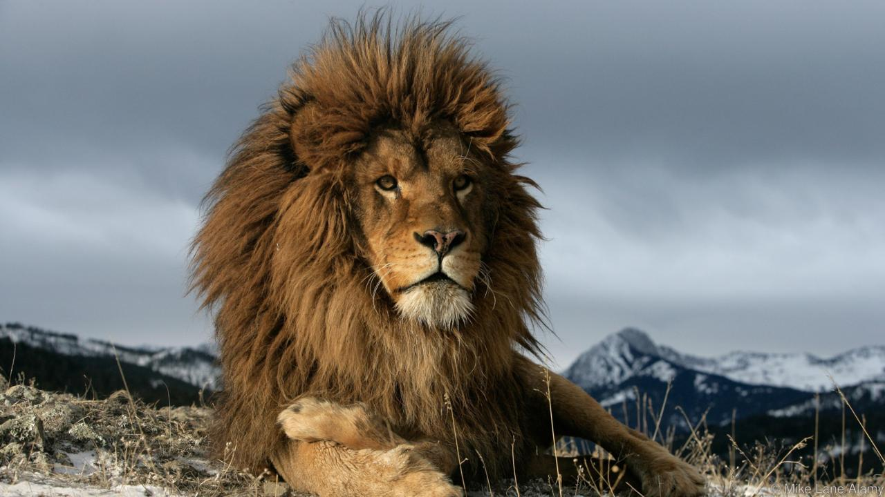 9bcfbd1948a18bed80e90f2f49c68b6b4cbbf189 lion 1